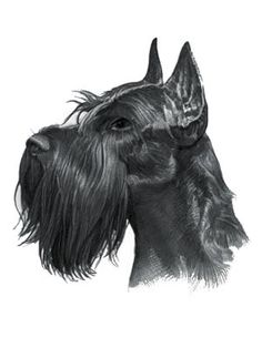 Find interesting facts and information about the Giant Schnauzer breed. Discover facts about the history, characteristics and temperament of the Giant Schnauzer breed. Description of the Giant Schnauzer with details of height, weight, diet and grooming. Schnauzer Breed, Giant Schnauzer, Schnauzer Gigante, Funny Dogs, Cute Dogs, Kinds Of Dogs, Dog Names, Cocker Spaniel, Beautiful Dogs