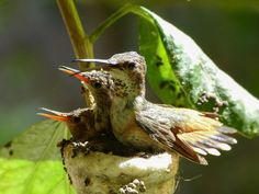Friday's hummingbird photos. by Mike's Birds / Winged Jewels