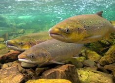 Global warming is delaying sex of Atlantic salmon? Atlantic Salmon, Global Warming, Animals, Fishing, Wall, Animales, Sup Fishing, Animaux, Salmon