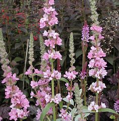 Lythrum salicaria 'Blush' : Numerous pale pink flower spikes from strong bushy plants in late summer to autumn. 75cm. high.  2010
