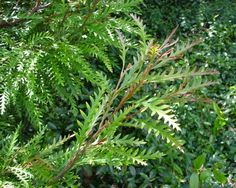 GardensOnline: Grevillea x Ivanhoe - love the foliage