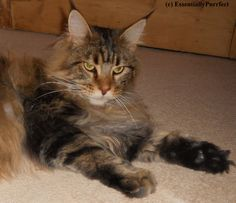 Eloise, a gorgeous #MaineCoon #cat customer from #Blackburn #Lancashire following her #mobile #catgrooming session