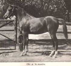 """the legendary ofir as a youngster. b 1933, 14.2hh. chief stud at janow podlaski, race record 1/5 (2-1-2). sire of the """"3 w's"""", witraz, wielki szlem and witez II. sire of tersk foundation mare mammona, to whom aragon traces. """"regenerator of the breed."""" famed for the 2k mile trek during the world war as ware booty, as well as his value as a sire. both my horses carry multiple lines to him."""