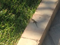 Cool little lizard found on patio