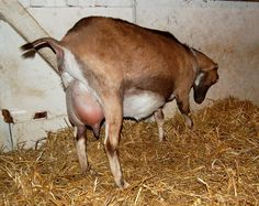 Fias Co Farm- Goat Health Care- How to assist in delivery of a kid
