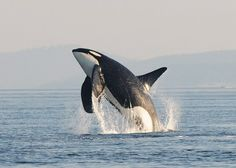 Orca Breaching