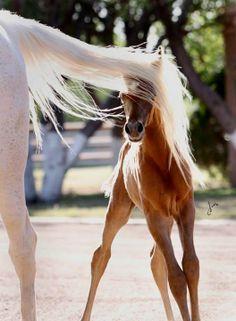 arabian foal playing peek a boo