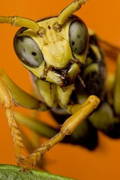 Goofy, cross-eyed wasp | Call A1 Bee Specialists in Bloomfield Hills, MI today at (248) 467-4849 to schedule an appointment if you've got a stinging insect problem around your house or place of business! You can also visit www.a1beespecialists.com!