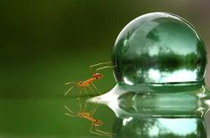 Ant pushing a drop of water