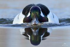 Bufflehead male Waterfowl Hunting, Duck Hunting, Hunting Stuff, Duck Species, Duck Decoys, Majestic Animals, Pretty Birds, Bird Watching, Bird Feathers