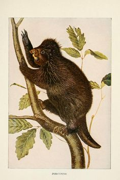 Squirrels and other fur-bearers, - Biodiversity Heritage Library - porcupine Science Illustration, Nature Illustrations, John James Audubon, Zoology, Natural History, Mammals, North America, Moose Art, Canvas Art
