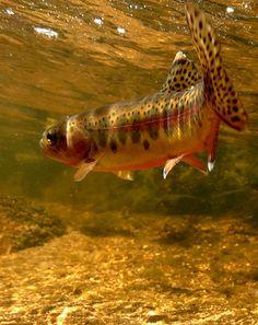 Underwater trout, pi