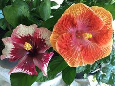 Purple Magic 1st bloom and Tahitian Caramel Swirl 2nd bloom hibiscus 8/23/16