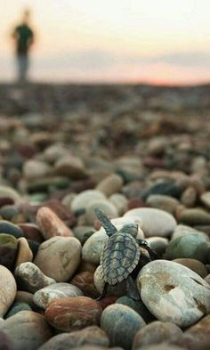 Amazing Baby Sea Turtle & Sea Turtle Facts - AWW - - Best photos images and pictures gallery about baby sea turtle sea turtle facts. The post Amazing Baby Sea Turtle & Sea Turtle Facts appeared first on Gag Dad. Baby Sea Turtles, Cute Turtles, Turtle Baby, Cute Baby Animals, Animals And Pets, Wild Animals, Funny Animals, Beautiful Creatures, Animals Beautiful