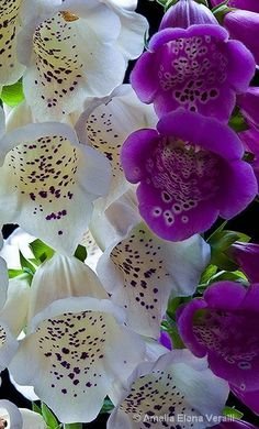 Foxglove's. plant with sage & lavender in front of grass patches, & in clumps with Delphinium behind the grass swathes.