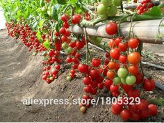 Checkout this new stunning item   100pcs/pack Fruit Cherry Tomato Seeds, Original Package Mini Tomato Seeds Four Seasons DIY HOME PLANT Bonsai Fruit Seeds - US $0.19 http://onlinehomegarden.com/products/100pcspack-fruit-cherry-tomato-seeds-original-package-mini-tomato-seeds-four-seasons-diy-home-plant-bonsai-fruit-seeds/