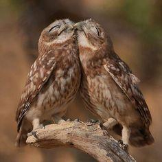 zhuzzz1402: Snuggle Owls Photography By: Judah Zada #onebigphoto by onebigphoto http://ift.tt/1NJNsWX
