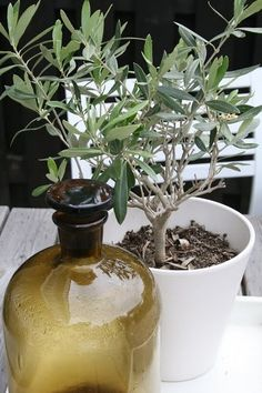 30 Ideas For Small Olive Tree Garden Olive Gardens, Small Gardens, Outdoor Gardens, Potted Olive Tree, Potted Trees, Olives, Vases, Olive Wedding, Pine Tree Tattoo