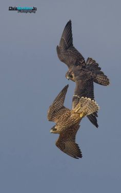 Peregrine Falcon Pair by Chris Montano, Jr.