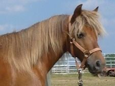 Peanut - Riding & Driving Kid Safe Pony *VIDEO* for sale in Cordele, Georgia USA.