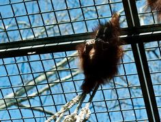 "The word orangutan derives from the Malay Orang Hutan, who means "" man of the jungle "". In any case, receive the name that receives ... I swear that it would take it to myself to house."