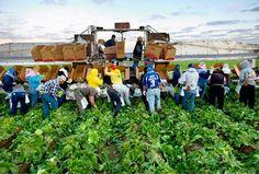 california farmworkers in the field - Google Search