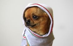 This Chihuahua is named Nando, and he is a balm for all that ails you.