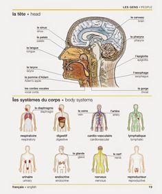 19 - La tête et les systèmes du corps