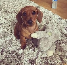 Available Puppies – Star Dachshund Puppy Mini Dachshund, Dog Training, Puppies, Star, Dogs, Animals, Cubs, Animales, Animaux