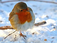 Roodborstje in de sneeuw 2 | Flickr - Photo Sharing!