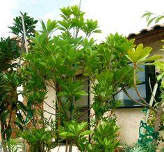 baumarten exotische pflanzen tropische pflanzen