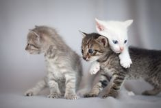 Buy Kittens playing by luckybusiness on PhotoDune. Little kittens playing Cute Kittens, Kittens Playing, Little Kittens, Funny Animal Photos, Funny Animals, Animals Photos, Blank Business Cards, Exotic Shorthair, Alien Art