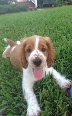 Cutest Welsh Springer Spaniel Puppy