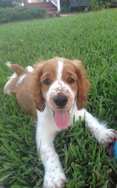 Cutest Welsh Springer Spaniel Puppy