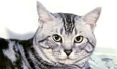 Everything you want to know about American Shorthairs including grooming, health problems, history, adoption, finding good breeder and more.