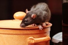 View our specialist step by step tips for how to get rid of rats in the house. Rat control UK is imperative, because rats in your home are unhygienic and pot. Rat Control, Best Pest Control, Pest Control Services, Electronic Pest Control, Rat Family, Getting Rid Of Rats, Les Rats, Flea Spray, Bees And Wasps