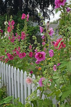 Hollyhocks...nothing says vintage cottage garden like these!!