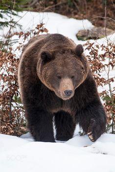 Eurasian brown bear by Carl Mckie / 500px