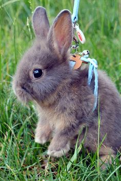 baby bunny in a leash. looking at you. ouO