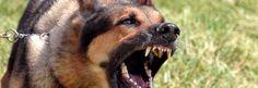 PADOVA Due cani, di razza pastore tedesco, hanno aggredito un bambino di dieci anni e solo il pronto intervento del padre ha