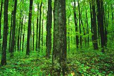 Oak trees in Shenandoah National Park.
