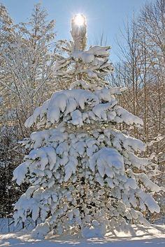 Gorgeous snow flocked tree with the sun as its star................b-e-a-u-t-i-f-u-l
