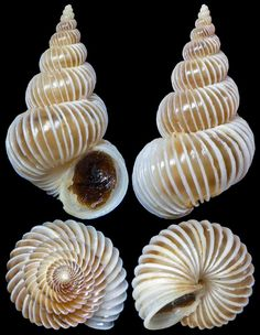 """Chong Chen Epitonium imperiale (G. B. Sowerby, 1844) EPITONIIDAE -10m, Dived in anemones, Garden Island, West Australia, 30mm, F++ The """"Imperial Wentletrap"""" is a beautiful and relatively large wentletrap with exceptional frequency of costae."""