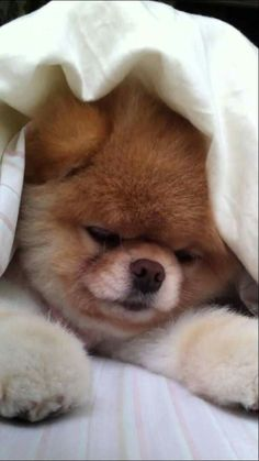 I've decided THIS is the best Boo the Cutest Dog in the World video. Boo The Cutest Dog, World Cutest Dog, Funny Dog Videos, Funny Dogs, I Love Dogs, Puppy Love, Cute Puppies, Cute Dogs, Jiff Pom