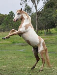Wild Spanish Mustang Horse | ... rare Spanish Mustang horse, also known as the Colonial Spanish Horse