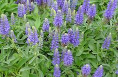 Plants that tolerate foot traffic Ground Cover Plants, Plants, Mini Plants, Tiny Plants, Propagating Plants, Flower Spike, Perennials, Veronica, Landscaping Plants