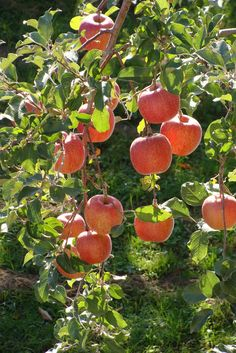 129 best flowering ornamental trees images on pinterest green the fuji apple tree delivers a spectacular spring display and an outstanding fall harvest in mightylinksfo