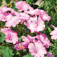 Rose Mallow Seed