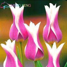 50 Unids de Alto grado de Semillas de Flores de Jardín Tulipán Semillas Semillas de Bonsái balcón Maceta No Más Hermoso * Plantas Coloridas Semillas Flor bombillas