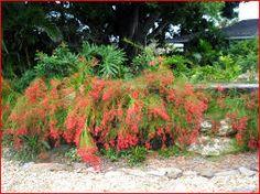 Russelia equisetiformis - Russélia , Flor de coral - boa para bordaduras, boa no chão e em jardineiras pendentes. Planta pendente, de textura herbácea e muito florífera. Seus ramos são longos, com cerca de 1 metro de comprimento e apresentam florescimento muito ornamental. Suas folhas são semi-perenes. Deve ser cultivada sob sol pleno ou meia-sombra